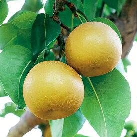 【ふるさと納税】熊本県JAくま産 球磨の梨 豊水 5kg(2L以上)  お届け時期:2020年8月中旬〜9月上旬