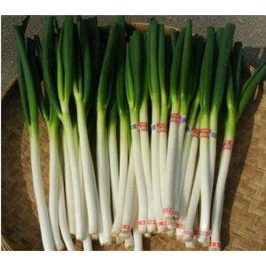 【ふるさと納税】【1月中旬から順次配送:先行予約】西日本有数の産地で育った白ネギ3kg