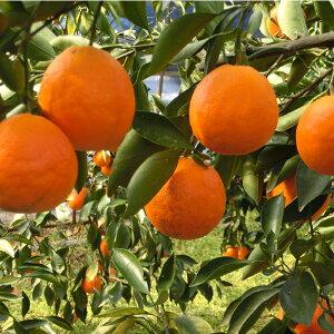【ふるさと納税】B0049 木戸農園のタロッコ(ブラッドオレンジ)5kg ※3月〜4月