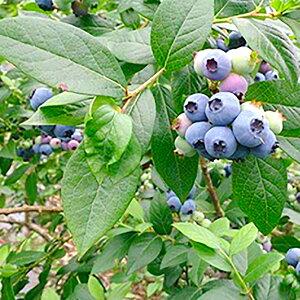 【ふるさと納税】大分県 九重町産 ブルーベリー 1kg 冷凍 果物 フルーツ ジャム 国産 九州産 冷凍 送料無料