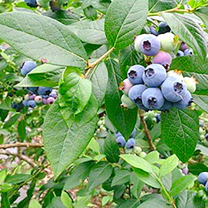 【ふるさと納税】大分県 九重町産 ブルーベリー 2kg 冷凍 果物 フルーツ ジャム 国産 九州産 冷凍 送料無料