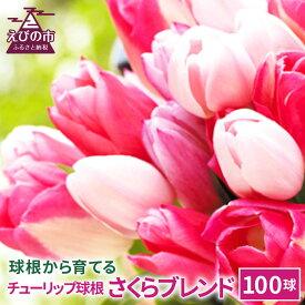 【ふるさと納税】チューリップ球根 さくらブレンド 100球 ピンク系色ミックス 無選別 花 フラワー 園芸 ガーデニング 植物 送料無料 【2021年10月上旬より順次発送予定】
