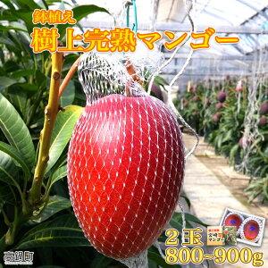 【ふるさと納税】<鉢植え 樹上完熟マンゴー 2玉(合計800g〜900g)>※2021年5月上旬〜6月中旬迄に順次出荷します。 果物 フルーツ 特産品 宮崎県 高鍋町【冷蔵】