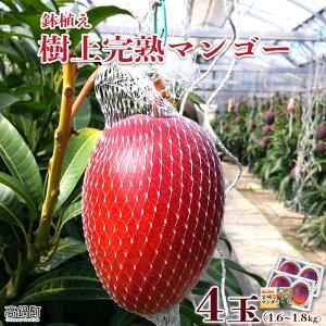 【ふるさと納税】<鉢植え 樹上完熟マンゴー 400〜450g×4玉 計1.6kg〜1.8kg>※2021年5月上旬〜6月中旬迄に順次出荷します。 果物 フルーツ 特産品 宮崎県 高鍋町【冷蔵】