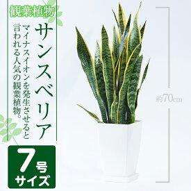 【ふるさと納税】サンスベリア・ローレンティー7号サイズ(約70cm)南国鹿児島で育った観葉植物【GreenBase】