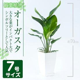 【ふるさと納税】オーガスタ7号サイズ(約70cm)南国鹿児島で育った観葉植物!【GreenBase】