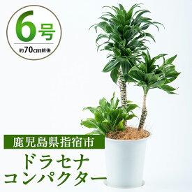【ふるさと納税】ドラセナコンパクター6号サイズ(鉢底より70cm前後)南国指宿で育てられた観葉植物をぜひご家庭で!【Green Farm M】