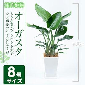 【ふるさと納税】≪数量限定≫オーガスタ8号サイズ(約90cm)南国鹿児島で育った観葉植物!【GreenBase】