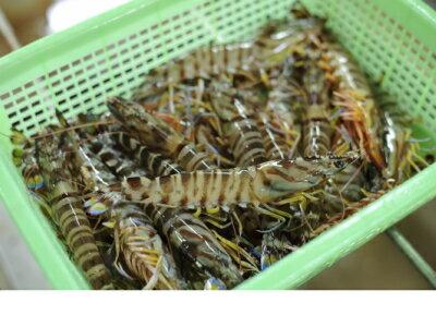 【ふるさと納税】種子島特産くるま海老(養殖・冷凍)