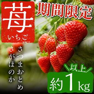 【ふるさと納税】 鹿児島県産イチゴ!さつまおとめorさがほのかを約1kg以上!【片平観光農園】