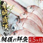 【ふるさと納税】旬の朝獲れ鮮魚コース5ヵ月定期便!その日獲れたての鮮魚や活魚!漁協だからできる産地直送の定期便【えびす市場】