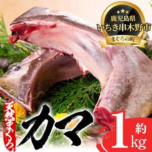 【ふるさと納税】キハダマグロ(もしくはメバチマグロ)のカマ約1kg!炙り焼きや煮物におすすめ【海鮮まぐろ家】