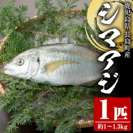 【ふるさと納税】シマアジ1匹 約1.0〜1.3kg_jfa-4121