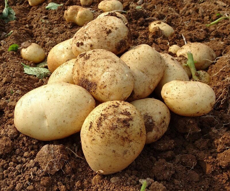 【ふるさと納税】eguchi-254早春長島のミネラル栽培ジャガイモ