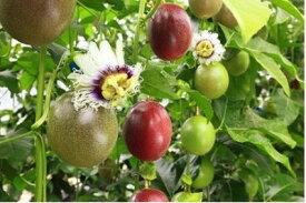 【ふるさと納税】BB-P21007【先行受付】 パッションフルーツ(バラ詰め5kg)武富農園