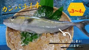 【ふるさと納税】AO-6 大島海峡で育った奄美瀬戸内町産カンパチ(かんぱち、勘八)