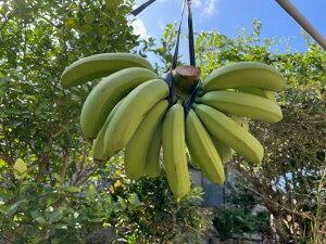 【ふるさと納税】【数量限定】喜界島産バナナ(中間種) 2房