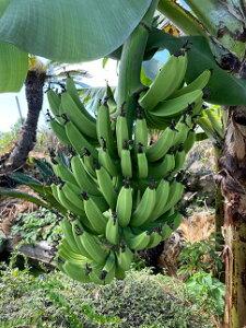 【ふるさと納税】【数量限定】喜界島産バナナ(中間種) 約10kg