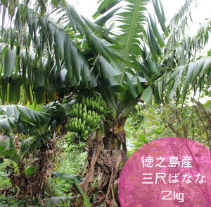 【ふるさと納税】【鹿児島県天城町】徳之島産三尺バナナ 2kg