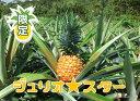 【ふるさと納税】大宜味村産ジュリオスター3玉(3キロ)