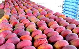 【ふるさと納税】【2019年発送】農家さん直送!アップルマンゴー約1kg 贈答用
