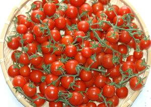 2021年分予約 全額返金保証 甘い 808 ミニトマト 500g 房付き プチトマト フルーツトマト 和歌山産 お歳暮