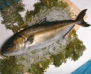 鹿児島産 カンパチ 1尾 3〜3.5kg前後 間八 かんぱち 産地直送 SSS