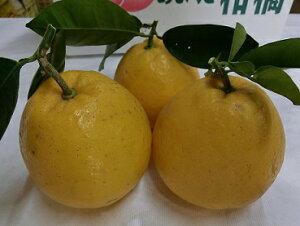 減農薬 晩柑 ジューシーオレンジ 約5kg 贈答用 熊本産 産地直送 SSS