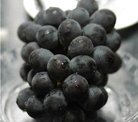 岡山産 ぶどう ピオーネ 大粒1房入 贈答用秀品 ブドウ 葡萄