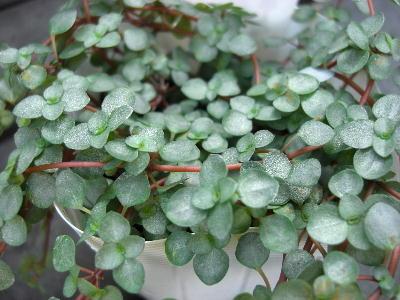 ミニ観葉植物 ピレア グラウカ ラベル付き3号苗