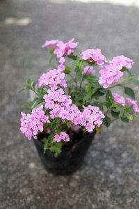 低木 花苗 コバノランタナ 3,5号苗 *白と紫の2色ございます。