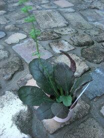 常緑 多年草 サルビア リラータ(パープルボルケイノ)3号苗