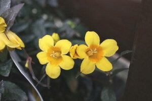花苗 つる性常緑 キャロライナジャスミン ラベル付き2,5号ロングポット苗2ポットセット