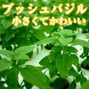 ブッシュバジル/Bush basil 50g ファーム海女乃島・水耕栽培