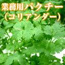 業務用生パクチー(コリアンダー/Coriander)500g ファーム海女乃島・水耕栽培