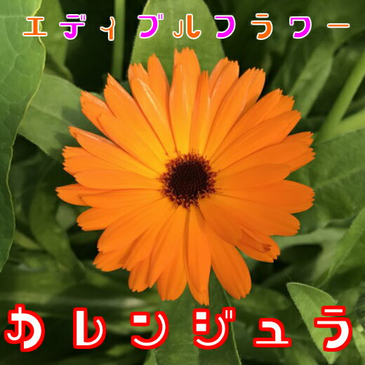 カレンジュラ(食用花) 伊勢志摩産・水耕栽培