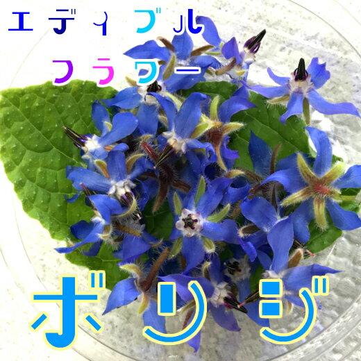 ボリジ(食用花) 伊勢志摩産・水耕栽培