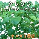 クレソン(ウォータークレス/Watercress)30g ファーム海女乃島・水耕栽培