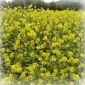 景観 緑肥 シロガラシ キカラシ/メテックス 菜の花 種 1kg