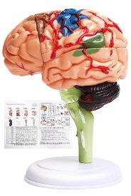 脳模型(医療学習用)日本語説明書付き 組立て方の動画あり#脳 模型 医療 図鑑 学習 医学 解剖 脳模型 立体 勉強 医師 医学生 頭蓋骨 人体模型 脳モデル 脳みそ 大脳 仕組み 神経学