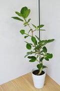 フィカスベンガレンシス(白い鉢入り)【観葉植物/インテリア/ベンガルゴム】
