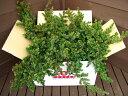 ブルーパシフィック6本セット【コニファー 北欧スタイル グランドカバー 寄せ植え 常緑樹 低木 コニファー販売 ガーデ…