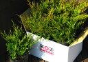 オールドゴールド6本セット【コニファー 北欧スタイル グランドカバー 寄せ植え 常緑樹 低木 コニファー販売 ガーデニ…