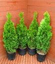 エメラルドグリーン4本セット 【コニファー 北欧スタイル ニオイヒバ スマラグド 庭木 植木 常緑樹 目隠し 垣根 生…