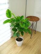アルテシーマ(白い鉢入り)【観葉植物/インテリア/ミ二/ベンガルゴム】