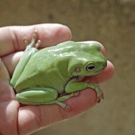 ビッグサイズ イエアメガエルL (約8cm−)1匹