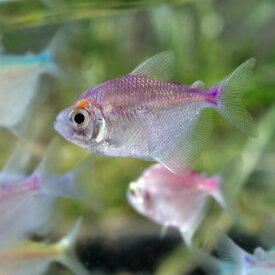 (熱帯魚 生体)カラーブラックテトラ(約3cm)(10匹) ※カラーはおまかせになります 【水槽/熱帯魚/観賞魚/飼育】【生体】【通販/販売】【アクアリウム/あくありうむ】