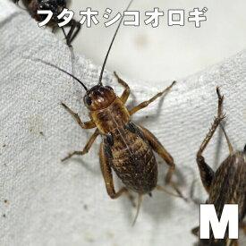 お取り寄せ品(3-4営業日)フタホシコオロギ M (1000匹)(1匹当たり9円)代引不可