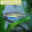 (熱帯魚)( 週替わり限定)ピジョン ブラッド ディスカス タイ産(約6cm)(1匹)
