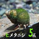 (貝)ヒメタニシ(-cm)(5匹)【水槽/熱帯魚/観賞魚/飼育】【生体】【通販/販売】【アクアリウム/あくありうむ】